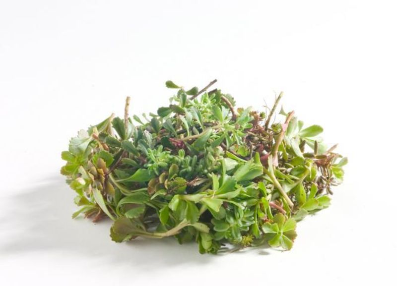 Optigrün-Vegetation Sedumsprossen